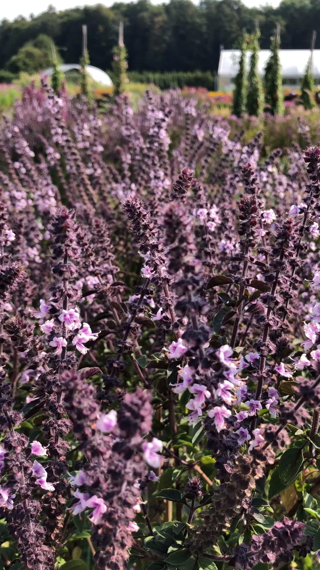 Strauchbasilikum 'Magic Blue®' Blüht den kompletten Sommer durch