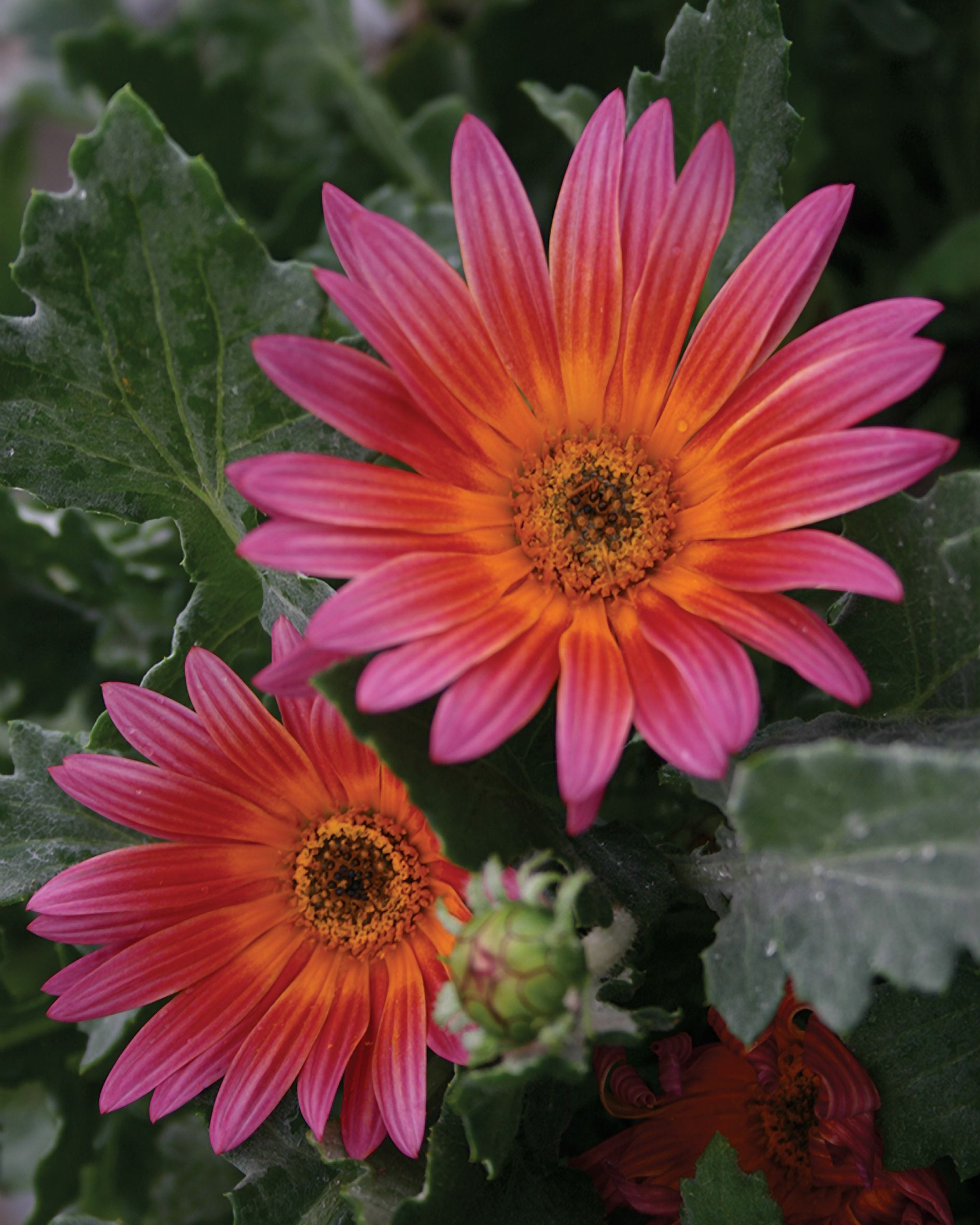 Full size picture of african daisy cape daisy margarita dark proven winners the ravers pink sugar african daisy arctotis hybrid pink plant details information and resources dhlflorist Choice Image