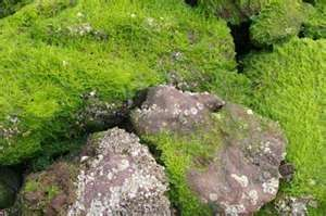 Mossy Rocks I Peel Moss Off The Patio And Lay On Rocks With