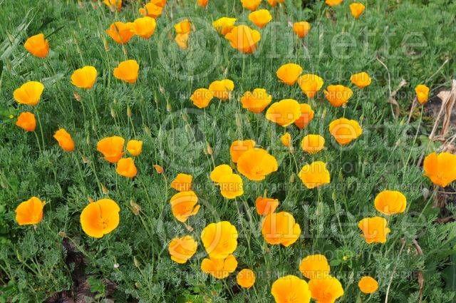 Eschscholzia. Californian Poppy. 'Orange King'