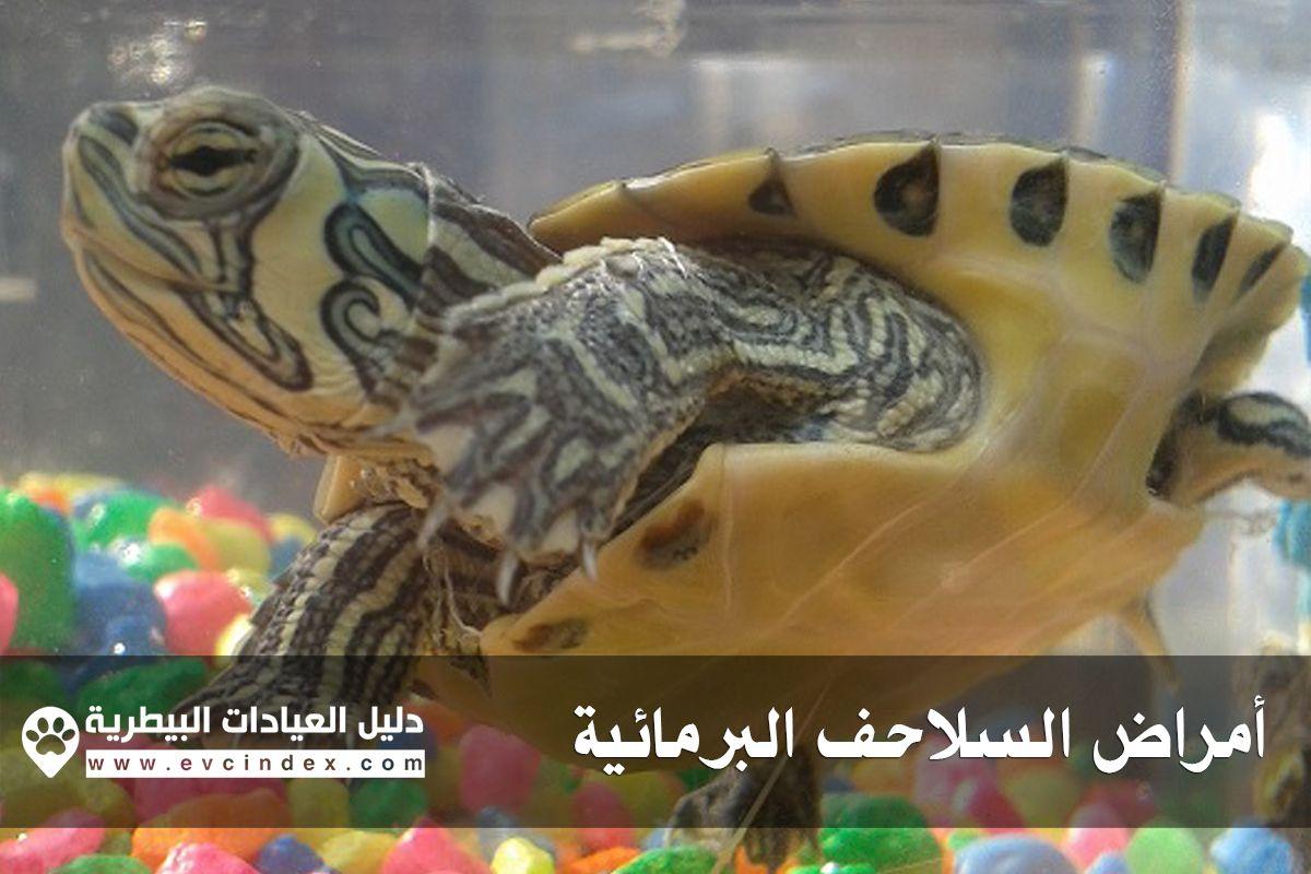 اليوم سوف نذكر لكم بعض الأمراض التي تصيب السلاحف البرمائية كما سنتعرف مع ا على علامات ظهور المرض كما يجدر بنا ذكر أن أغلب الأمراض التي س Turtle Lizard Animals