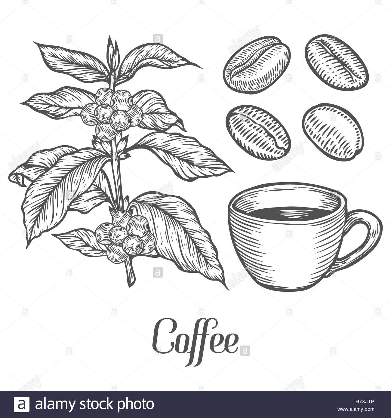 Coffee plant branch with leaf, berry Рисовать, Кофе