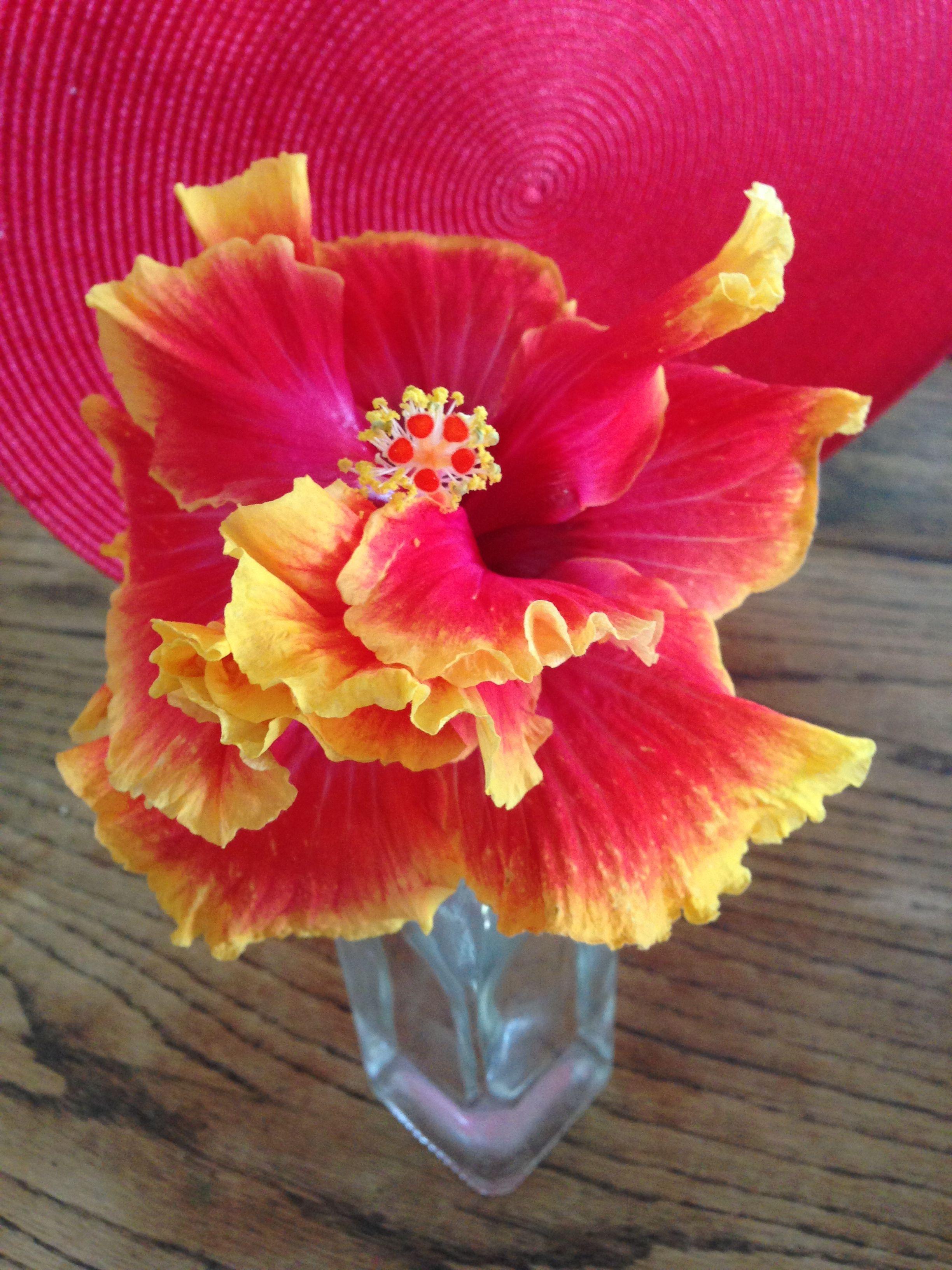 Flamenco beautiful double hibiscus hibiscus pinterest flamenco beautiful double hibiscus izmirmasajfo