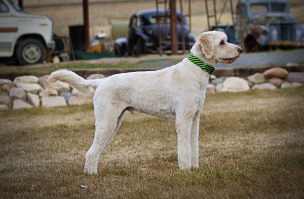 Short Haircut On A Goldendoodle Labradoodle Grooming Labradoodle Labradoodle Haircut