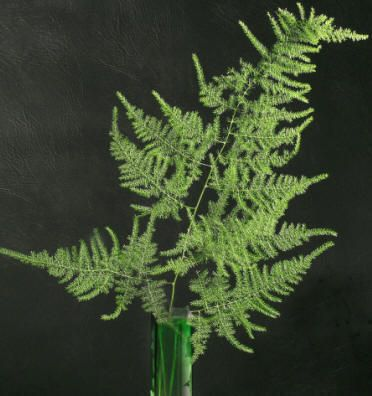 Asparagus Fern Plumosa A Great Filler For Flower Bouquets Often Paired With Roses Hardy Here In Utah A Relative Of Edible Asparagus