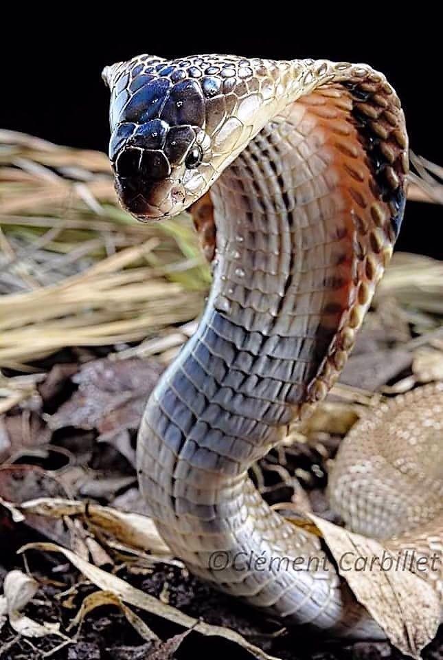 Пин на доске Рептилии / #змеи : #питон #удав #анаконда #кобра