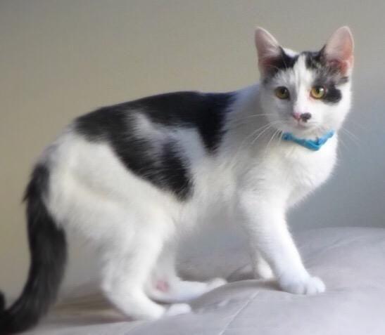 Adopt Chaplin 32103286 on Cat boarding, Pet adoption, Cats
