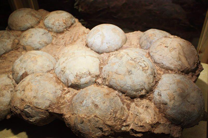 Dinosaur egg fossil stock photo. Image of taken, psittacosaurus - 46764302
