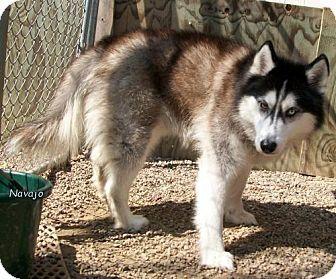 Oskaloosa Ia Siberian Husky Mix Meet Navajo A Dog For Adoption