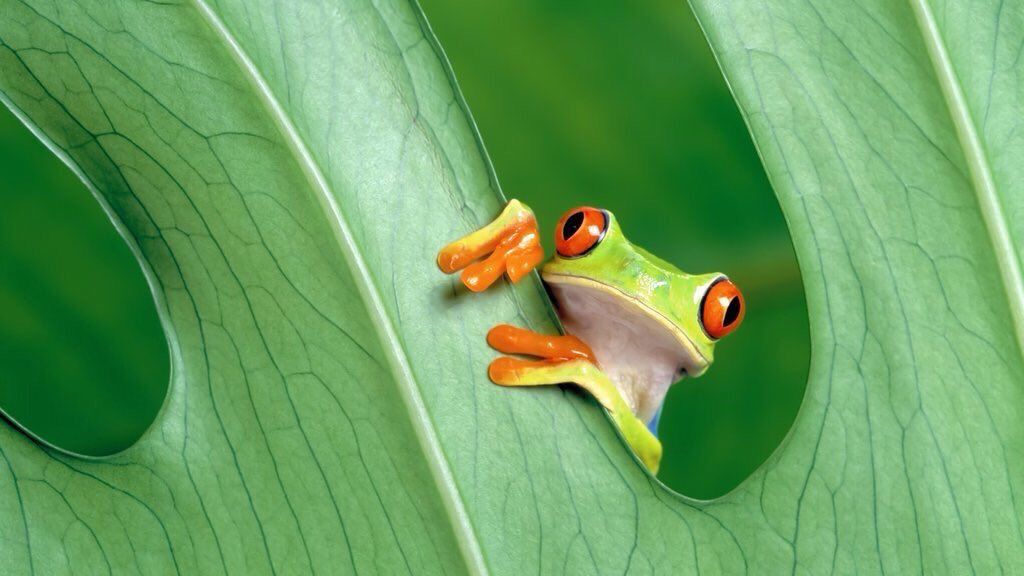 Ayla On Twitter Frog Wallpaper Frog Pictures Red Eyed Tree Frog