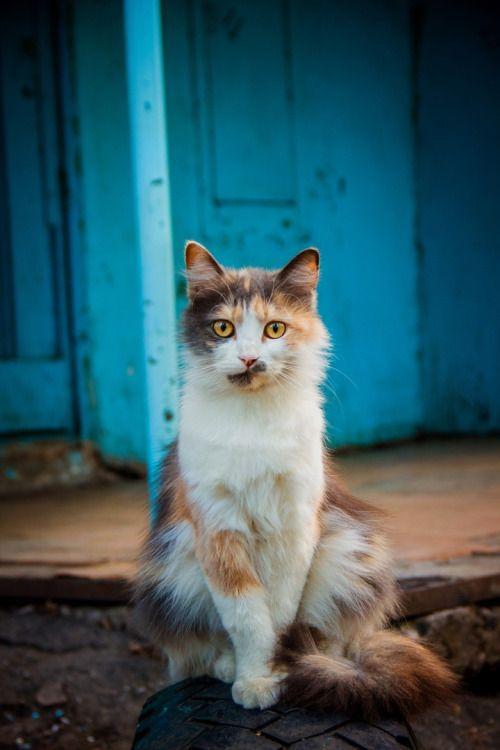 Mel Cat Cat Via Kot Obormot Mit Bildern Katzen Tiere Dreifarbige Katze