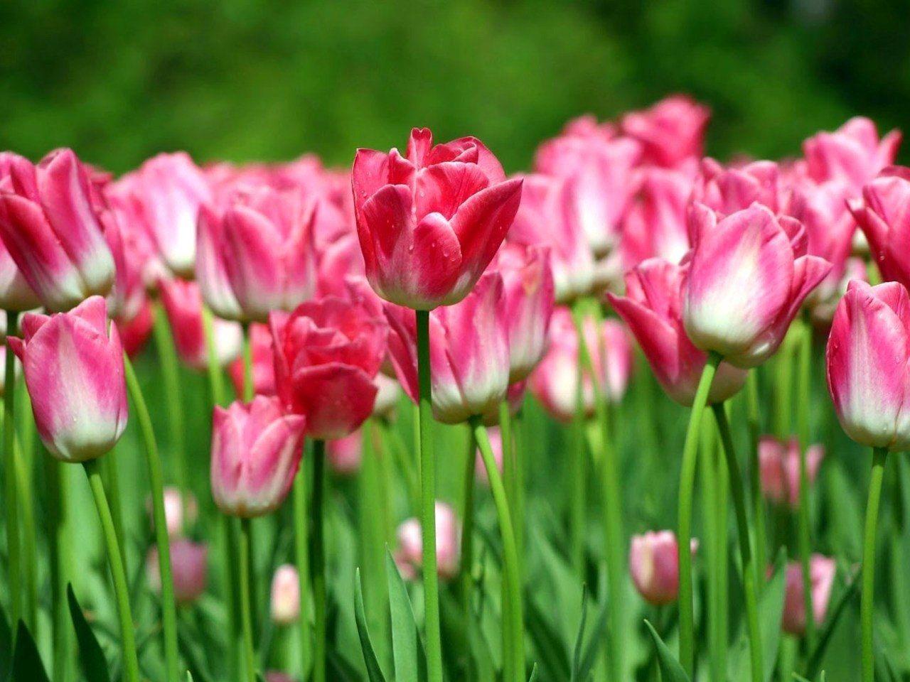 Flores Imágenes, Tulipanes Fondos De Pantalla, Verdes