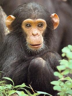 El Chimpancé Simio De áfrica Ecuatorial Por La Estructura