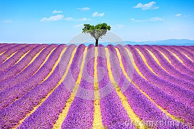 Travel Stock Photography and Royalty Free Images . Lavender flowers blooming field and a lonely tree uphill. Valensole, Provence, France, Europe.