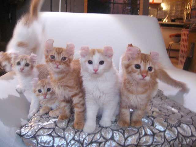 American Curl Kittens For Sale Procurl Harem Kitten Sale Curl Cat