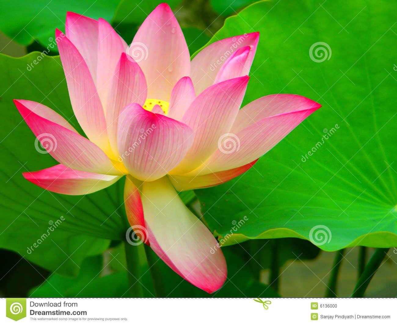 Beautiful lotus flower stock photo image of flower tropical beautiful lotus flower stock photo image of flower tropical 6136000 izmirmasajfo