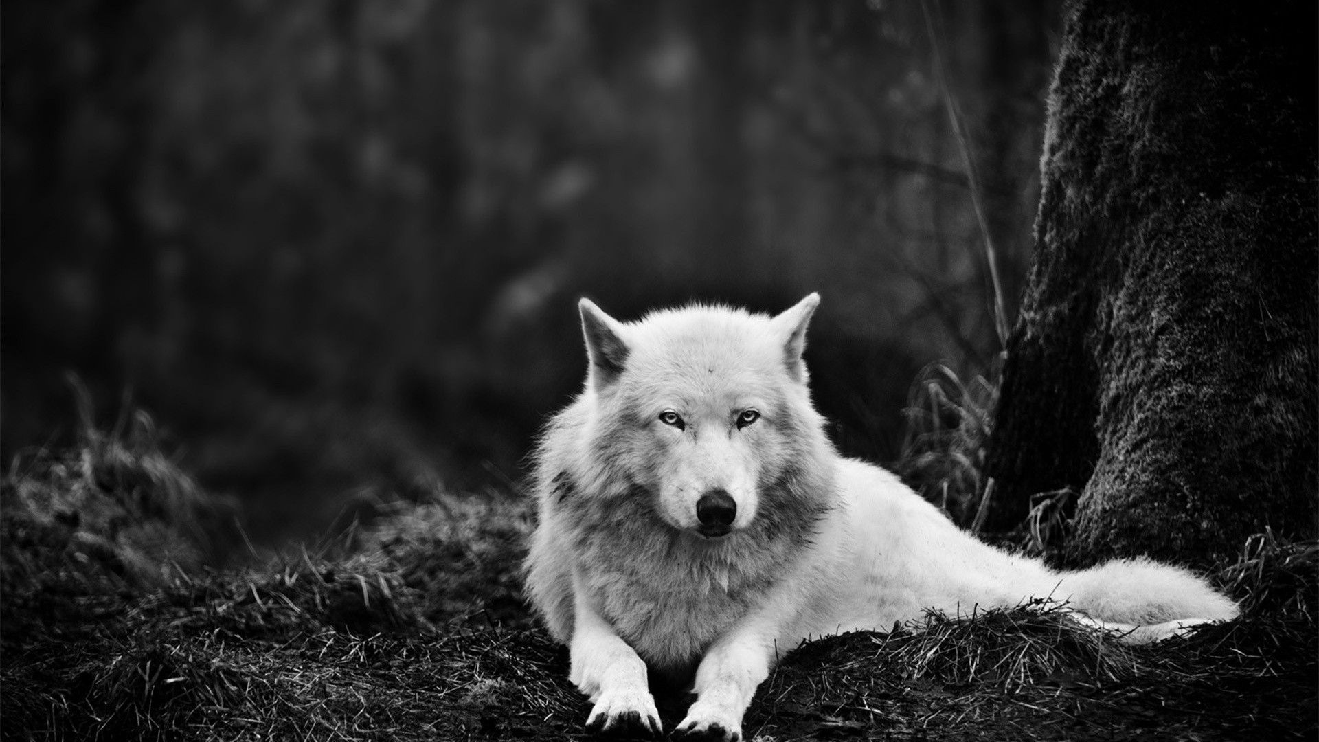 10 Latest Black And White Wolf Wallpaper Full Hd 1080p For Pc Desktop Wolf Wallpaper Hd Wallpaper Desktop Wallpaper Pc