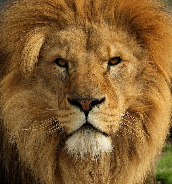 8k Animal Wallpaper Download: Lion Close Up Face - Google Search