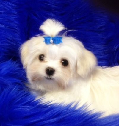 Maltese Maltese Yorkie Puppy Maltese Puppy Maltese Dogs