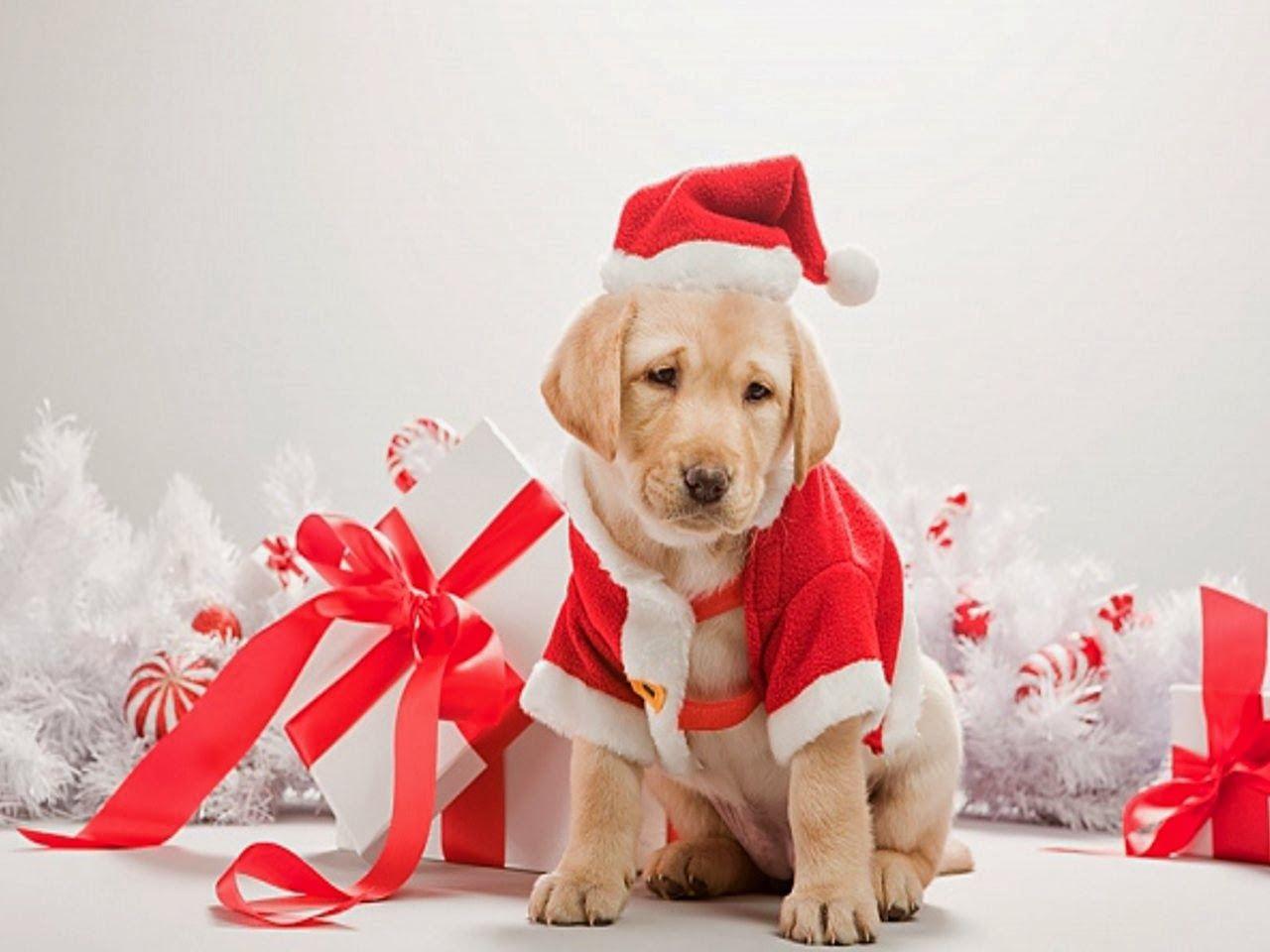 Cute Christmas Dog Wallpapers 2014 Christmas Dog Dog Christmas Gifts Christmas Puppy