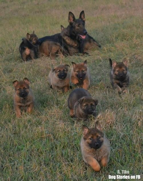 Mama Shepherd Sends Her Babies Out To Play Germanshepherds Dogs