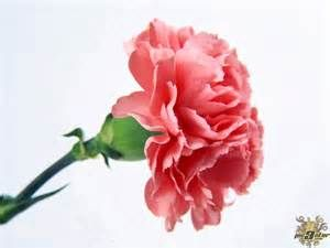 Pink Carnation Meaning Yahoo Image Search Results Carnation Flower Carnation Plants Carnation Colors