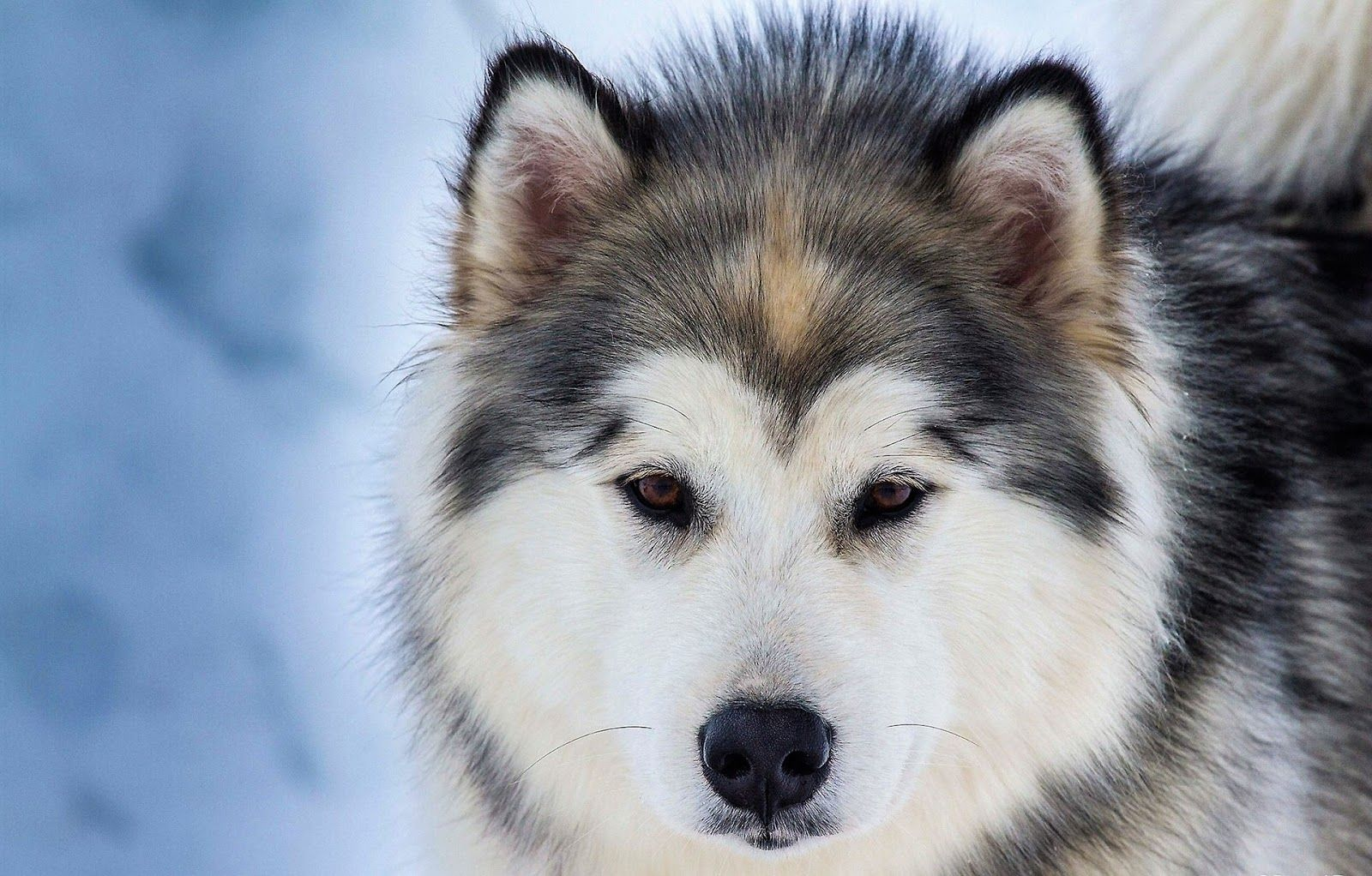 Hình ảnh những chú chó Husky Sibir dễ thương | Blog yêu cún