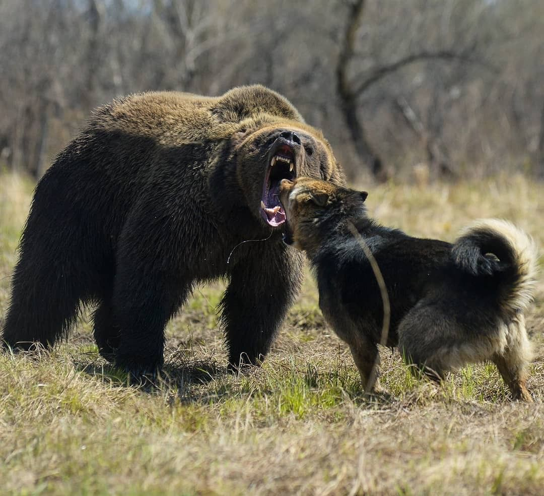 A Brown Bear And A Caucasian Mountain Shepherd Square Off No Fear