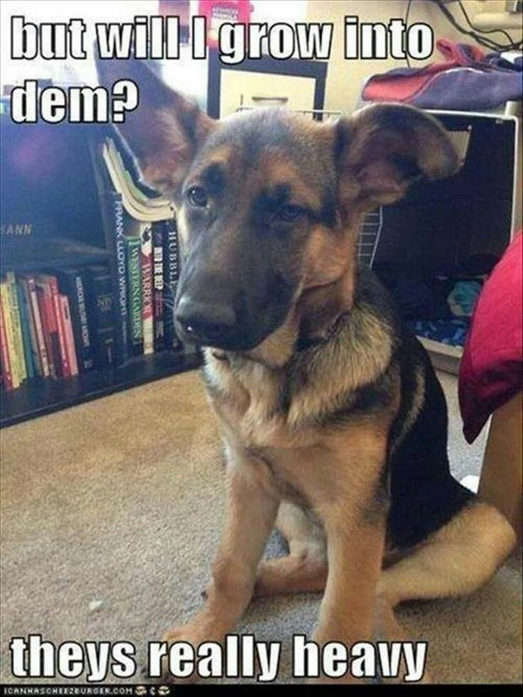 This Was Exactly My German Big Dobby Like Floppy Ears And Tumbly