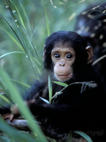 Infant Chimpanzee Gombe National Park Tanzania Photographic Print By Kristin Mosher Allposters Co Uk Wild Animals Photography Animals Beautiful Animals