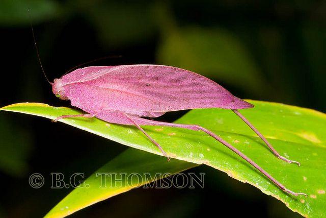 oblong-winged katydid, Amblycorypha oblongifolia, Costa Rica