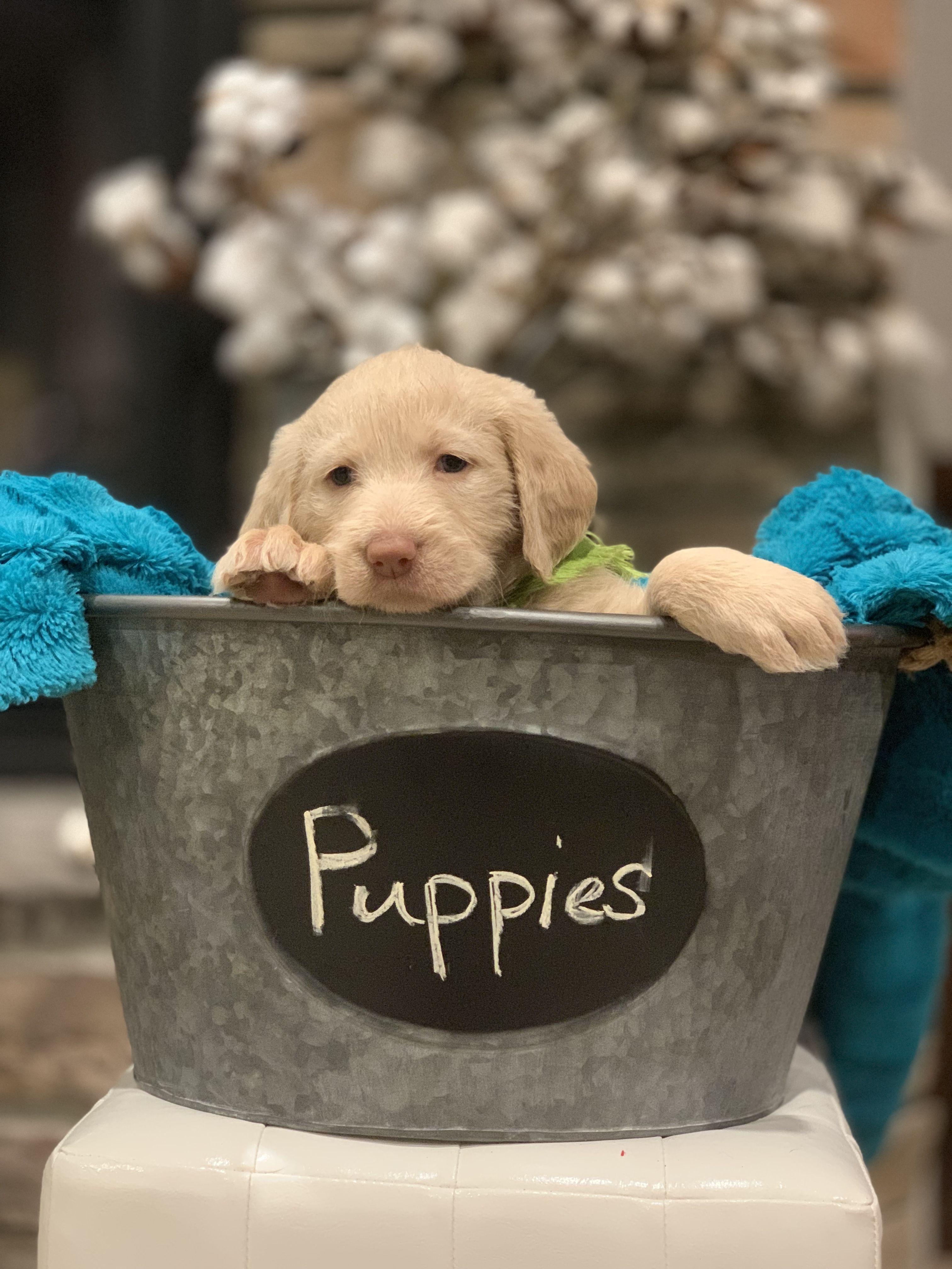 Pearla A Ckc Labradoodle Puppy For Sale From Visalia California