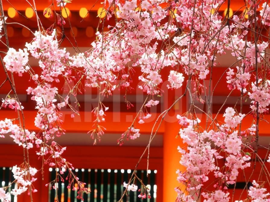 Cherry Blossoms, Heian-Jingu Shrine, Kyoto, Japan Photographic Print at Art.co.uk