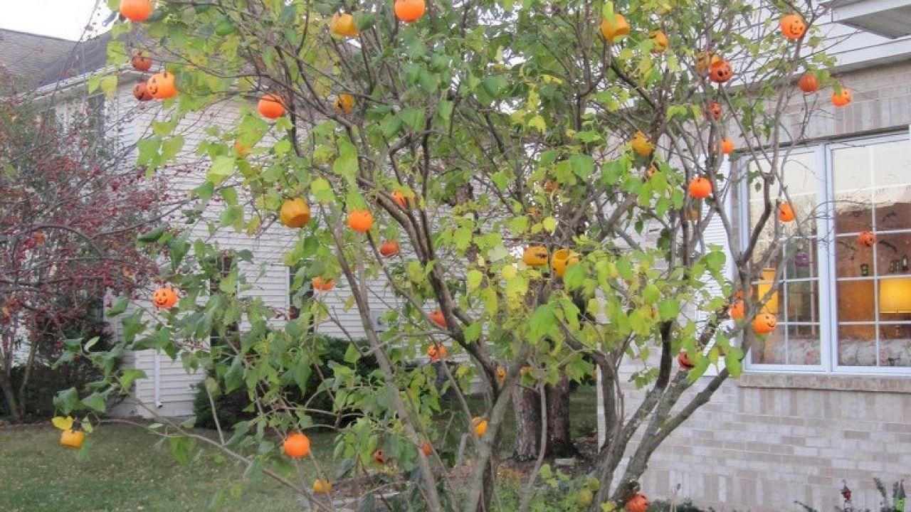 ما هى شجرة اليقطين Pumpkin Tree Plants Tree