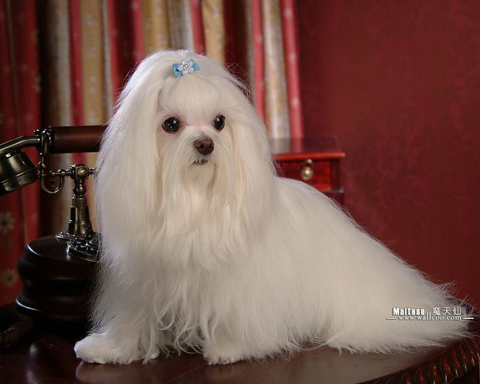 silky dog white. my dogs - maltese puppies wallpapers white puppy with silky hair wallpaper 20 dog n