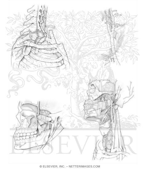 Arteries And Veins Colouring Pages Anatomy Coloring Book