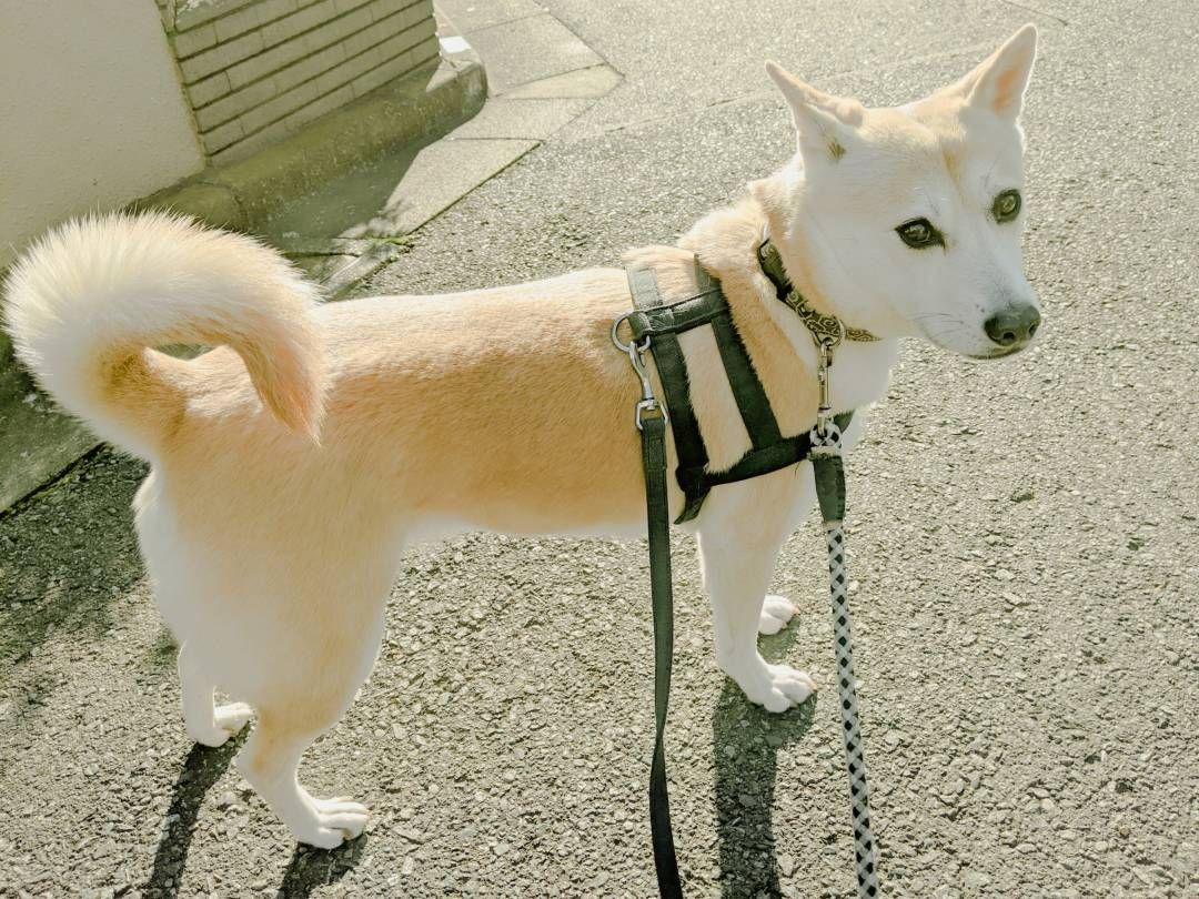 犬の散歩に後ろめたさも コロナ禍で心がけている工夫 保護犬マンガ Esseonline エッセ オンライン 犬 散歩 犬 愛犬家