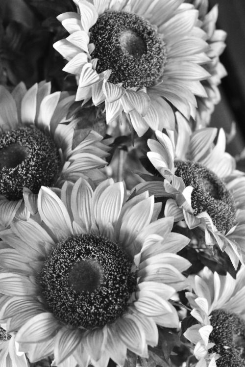 Real Dreamed Longed4 Sunflower Black And White Sunflower Wallpaper White Sunflowers