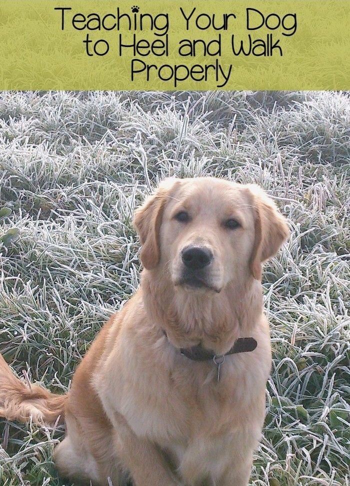 Teaching Your Dog To Heel And Walk Properly Healing Animals