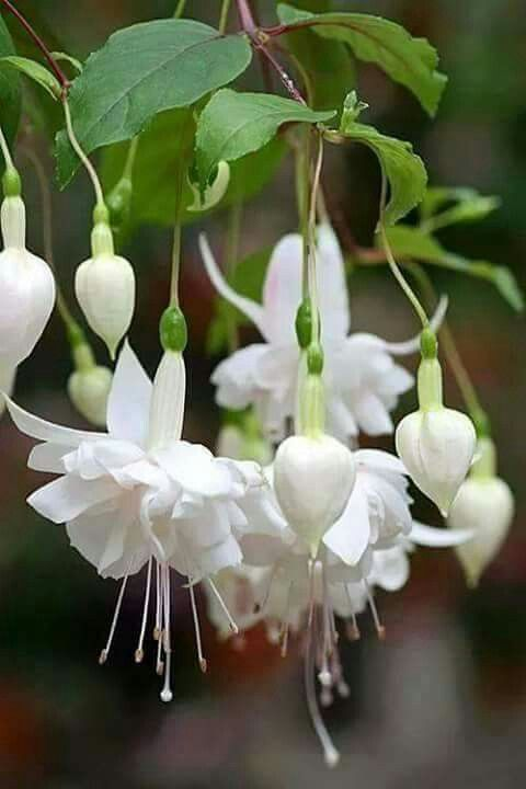 pingl par isabelle sur fuchsia pinterest fleur plantes et jardins. Black Bedroom Furniture Sets. Home Design Ideas