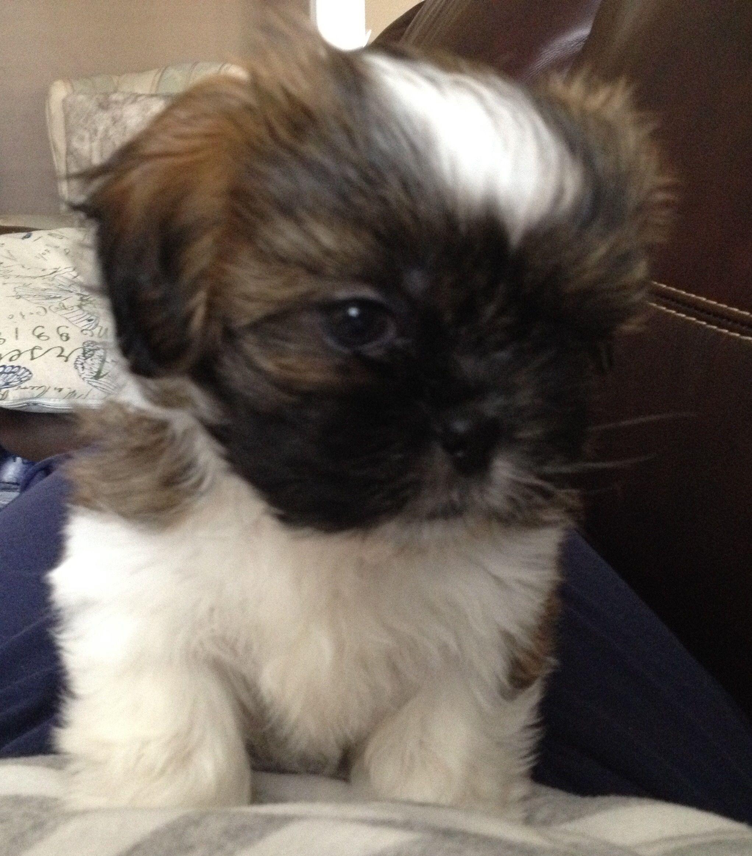 Shih Tzu Pup 6 Weeks Shihtzu Shitzu Puppies Cute Dogs Shih Tzu Puppy