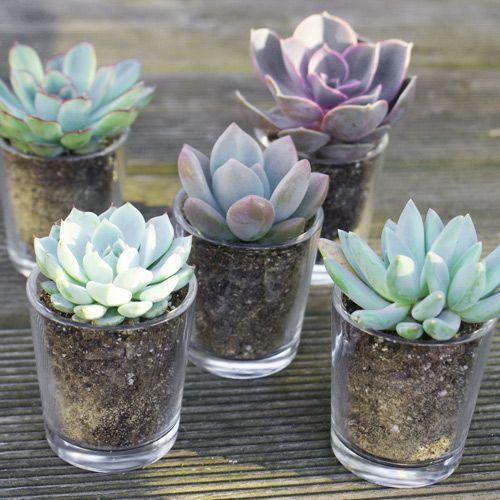 Succulentes Avec Pot En Verre Cadeau D Invites Et Decoration De