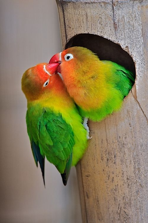 Fisher S Love Birds By Luc Van Der Biest With Images