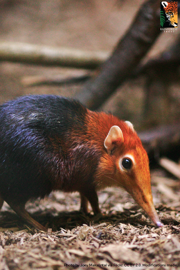 Meet The Elephant Shrew You May Not Guess It From Their Size But These Tiny Creatures Are Closer Related To Ele Rare Animals Unique Animals Animals Beautiful
