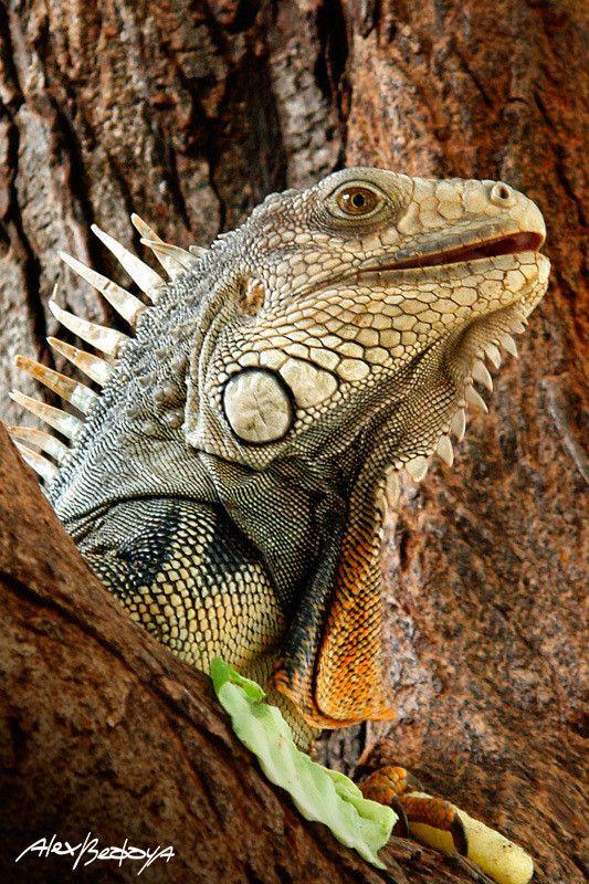 Iguana By Alex Bedoya 500px Iguana Pet Cute Reptiles Iguana