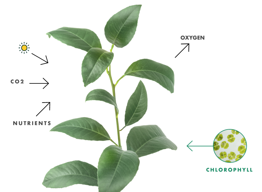 Photosynthesis This Process Occurs In Plants Through The Intake