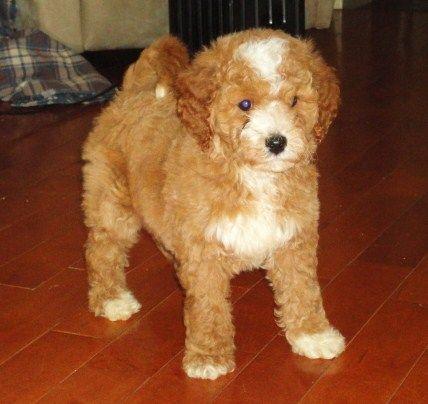 Muffin Male Maltipoo Puppy For Sale In Ohio 700 Maltipoo