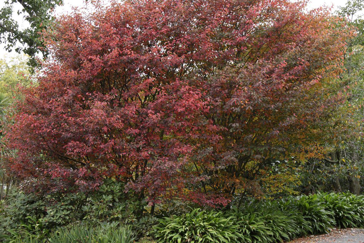 Image result for amelanchier lamarckii Garden wall, Back