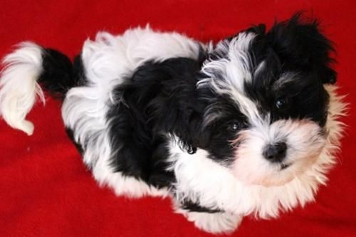 Parti Havanese Black Parti Havanese Puppy Girl Mistletoe