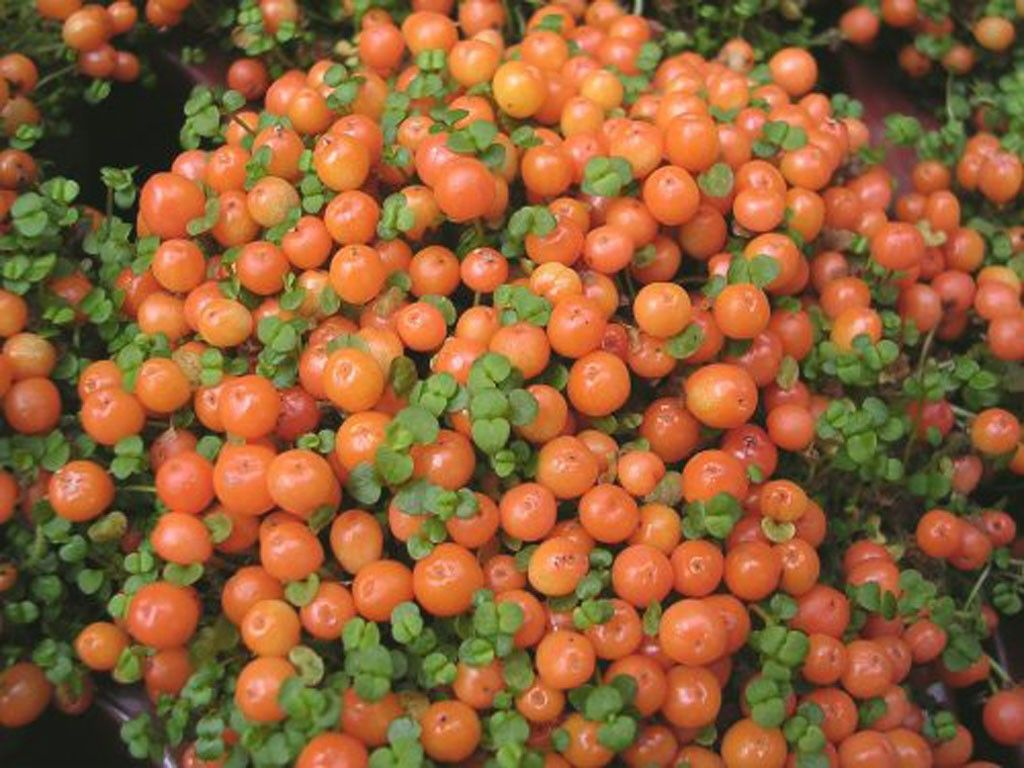 If you're looking for something a little more unusual to grow at home, consider growing pincushion bead plants, aka coral bead. This plant offers unique interest with its beadlike berries. Read here for more info.
